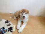 Chien Shayna - Akita Inu Femelle (3 mois)