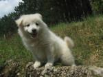 Chien flocon - Akita Inu Femelle (6 mois)