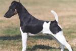 Chien Fox Terrier à poil lisse - Fox-terrier à poil lisse  (0 mois)