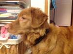 Chien Tara - Retriever de la Nouvelle-Écosse Femelle (9 mois)