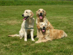 Chien Blue,Hazel et Grace - Retriever de la Nouvelle-Écosse  (0 mois)