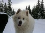 Chien  - Esquimau canadien  (0 mois)