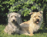Chien Irish Glen of Imaal Terrier - Terrier irlandais Glen of Imaal  (0 mois)