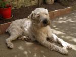 Chien irish soft coated wheaten terrier - Terrier irlandais à poil doux  (0 mois)