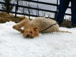 Chien  - Terrier irlandais à poil doux  (0 mois)