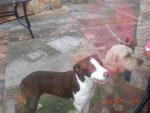 Chien Laia - Olde English Bulldogge Femelle (4 ans)