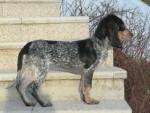 Chien Petit Chien Courant Suisse - Petit chien courant suisse  (0 mois)