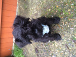 Chien Teddy - Schnauzer miniature Mâle (2 mois)
