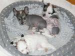 Chien Gribouille, Tina, Plutôt - Chien nu de Chine Femelle (0 mois)