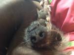 Chien Kenya il mio cane - Chien nu de Chine Femelle (2 ans)