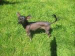 Chien Chippie petite chienne chien chinois - Chien nu de Chine  (0 mois)