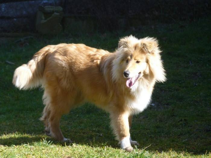 Chien  - Colley à poil long  (0 mois)