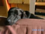 Chien spideer - Braque de Weimar Femelle (2 ans)