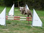 Chien sacha super saut ! - Braque de Weimar Mâle (8 ans)