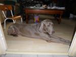 Chien Octave mon chien d\'amour!! - Braque de Weimar Mâle (14 ans)