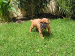 Chien awara - Boxer Femelle (3 mois)