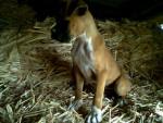 Chien Lobo - Boxer Mâle (7 mois)