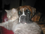 Chien Oggy (chat) et Djorka (chien) - Boxer Femelle (2 ans)