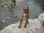 Chien Wolf and Brother - Boxer Mâle (0 mois)