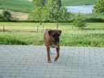 Chien Bagera - Boxer Femelle (2 ans)