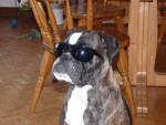 Chien Brooklyn - Boxer Femelle (2 ans)
