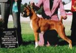 Chien Honey... 1st Award of Merit - Boxer Femelle (2 ans)