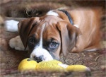 Chien Moses at 8 weeks of age. - Boxer Mâle (2 mois)