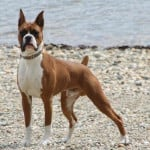 Chien Moses at 1 year of age - Boxer Femelle (1 an)