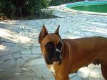 Chien boxer - Boxer  (0 mois)