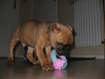 Chien BOXER.BANDIT - Boxer  (0 mois)
