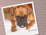 Chien BENJI mon boxer d\'amour - Boxer  (0 mois)