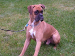 Chien Rusty - Boxer Femelle (4 mois)