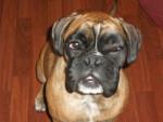 Chien Boxer Fidji (7mois) - Boxer  (0 mois)