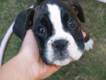Chien Dinky 2 mois - Boxer  (2 mois)