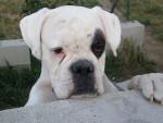 Chien Photo de Boxer : Belle - Boxer Femelle (0 mois)