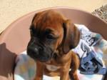 Chien Etna 3 mois - Boxer Femelle (3 mois)