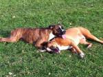 Chien Deux Boxers inséparables - Boxer  ()