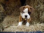 Chien César, chiot Boxer - Boxer  (0 mois)
