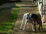 Chien Chelsa 5 ans maintenant et Falka 2 ans - Boxer Femelle (5 ans)