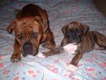 Chien Outch et tess - Boxer  (0 mois)