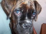 Chien C\'est moi - Boxer  (0 mois)