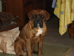 Chien  - Boxer Mâle (8 mois)