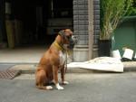 Chien  - Boxer Femelle (0 mois)