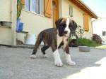 Chien Vénus - Boxer Femelle (10 mois)