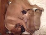 Chien carioa - Boxer Femelle (4 ans)