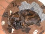 Chien Diams - Boxer Femelle (10 mois)