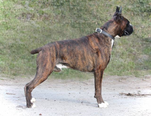 Chien Benny at 2 years of age - Boxer Mâle (2 ans)