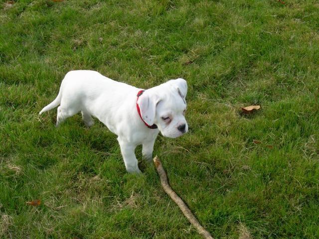 Photo CAÏS Boxer blanc : Boxer