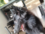Chien Gajeel des Perles Noires - Berger Groenendael Dracula Femelle (7 mois)