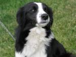Chien Dog - Border Collie Femelle (10 mois)